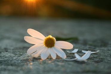 Image result for he loves me he loves me not flower